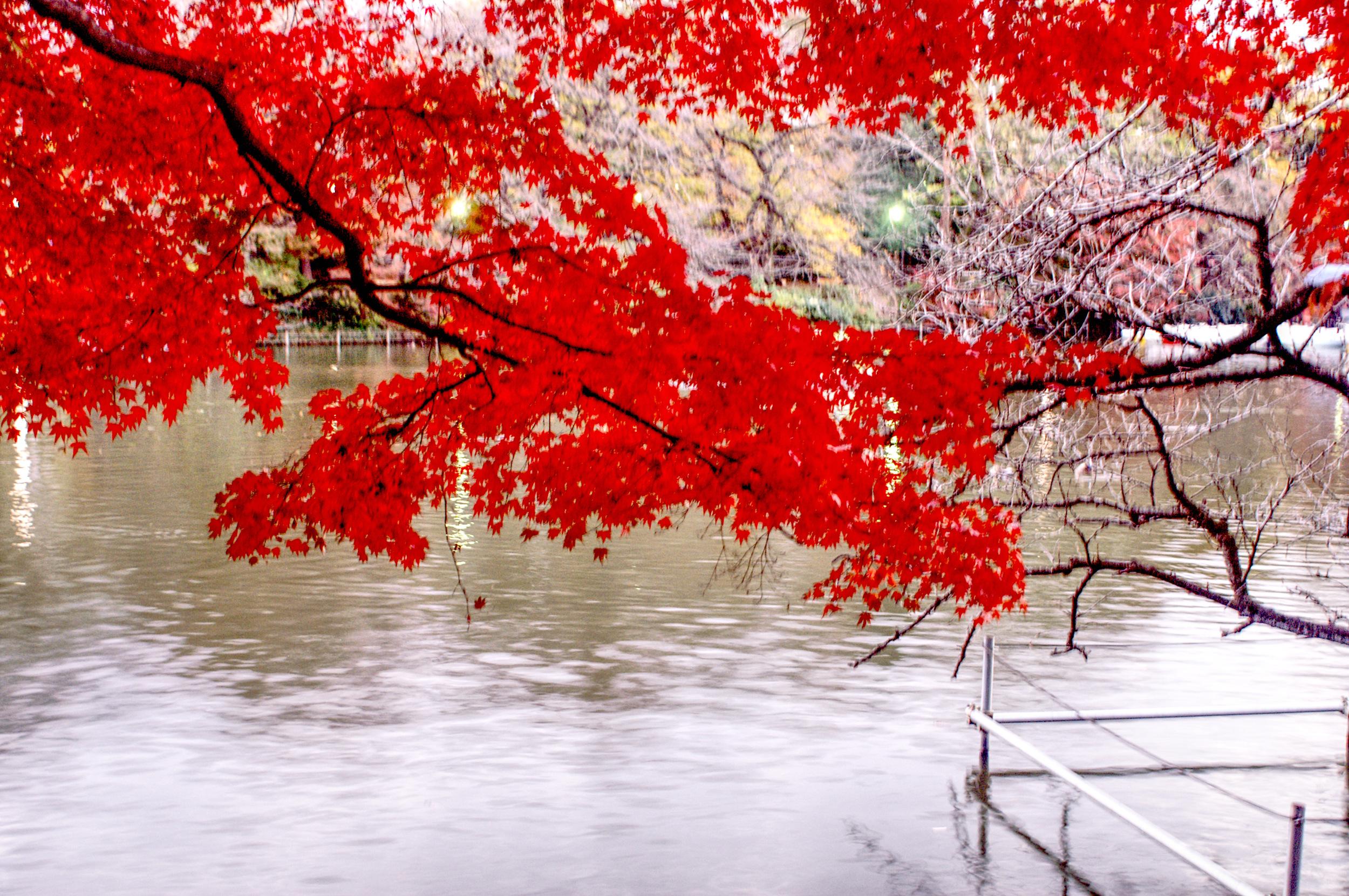 Fall colours in Inokashira Park