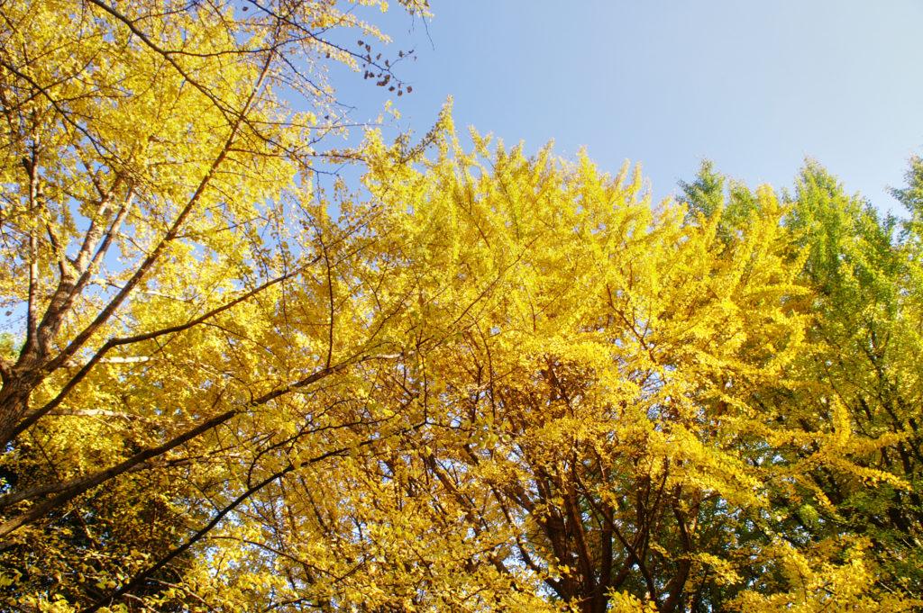 Fall colours in Yoyogi Park